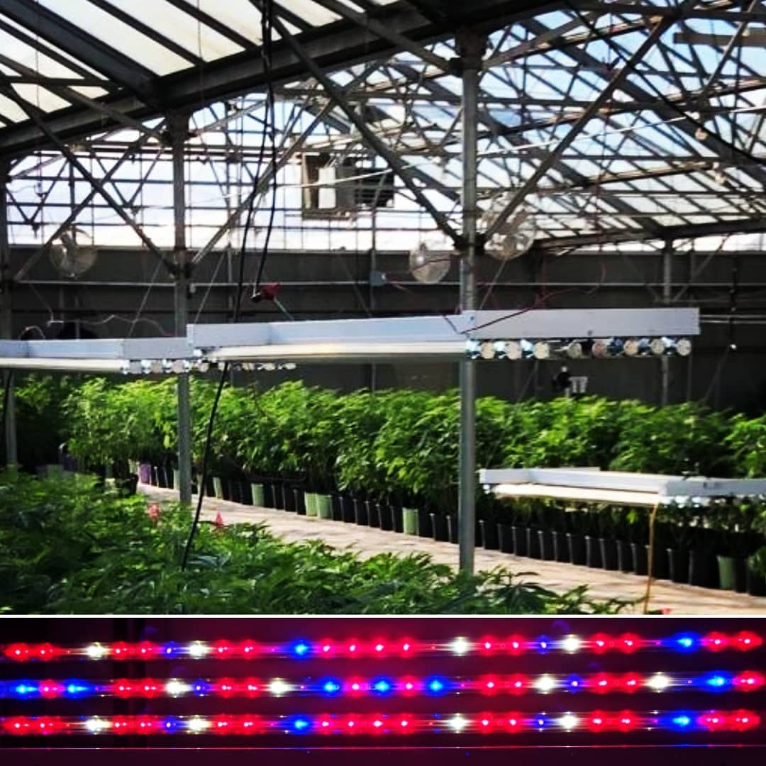Cannabis glasshouse